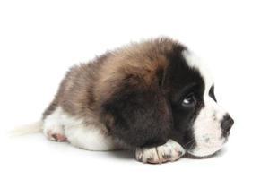 Jeune chiot saint bernard sur fond blanc photo