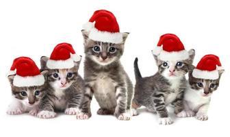 chatons de noël portant un chapeau rouge sur blanc photo