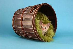 petit chaton tigré orange en studio photo