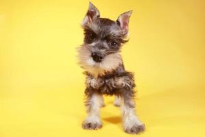 petit chien chiot schnauzer miniature photo