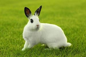 lapin blanc à l'extérieur dans l'herbe photo