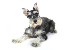 Mignon chiot schnauzer nain chien sur fond blanc photo