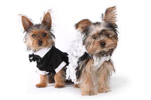 Mariée et le marié chiots yorkshire terrier sur blanc photo