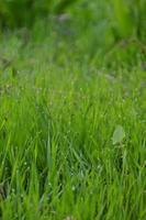 herbe d'un pré avec rosée le matin photo