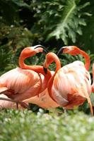socialiser des flamants roses à l'extérieur photo