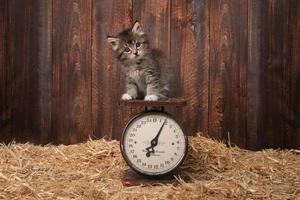 adorable chaton à l'échelle vintage antique photo