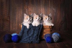 chaton mignon en studio photo