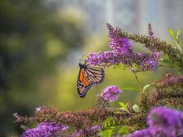 papillon monarque, ,danaus plexippus, photo