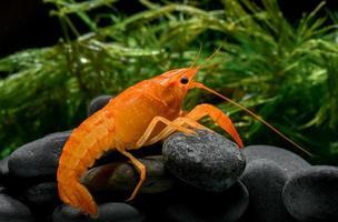 bébé écrevisse orange vivante avec de la roche et de l'herbe aquatique. photo