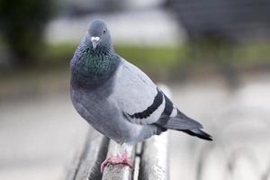 pigeon curieux sur le banc photo