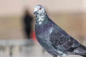 pigeon curieux sur une fontaine photo