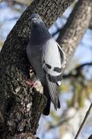 gros plan de pigeon urbain photo