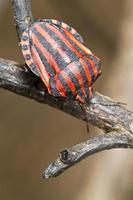insecte graphosoma lineatum photo