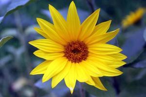 gros plan de fleur de soleil naturel photo