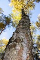 le tronc d'un arbre s'étendant dans le ciel. grands bouleaux. couronne d'arbres contre le ciel. photo