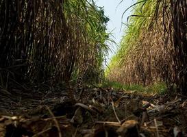 les feuilles de canne sèches et la canne envahie par la végétation ont inondé la tête pendant le chemin de terre de la ferme de canne à sucre photo