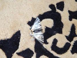 papillon machaon assis sur le tapis photo