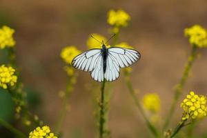 papillon blanc veiné de noir sur de petites fleurs jaunes photo