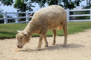 un mouton cherche de la nourriture dans la cour photo