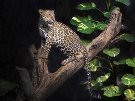 léopard sur un arbre dans une ambiance forestière. photo