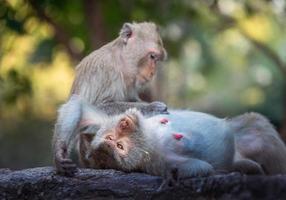 la famille des singes à l'état sauvage. photo