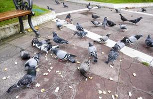 pigeons mangeant du pain photo