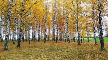 bouleau au feuillage jaune. paysage d'automne. automne lumineux. photo