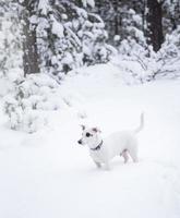 Jack Russell Terrier sur la nature en hiver photo