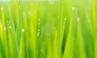 herbe verte fraîche avec des gouttes de rosée au soleil à l'automne. arrière-plan flou abstrait. fond naturel. texture. photo