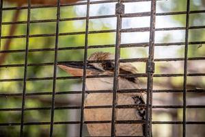 Close up portrait of a laughing kookaburra à l'intérieur d'une cage photo