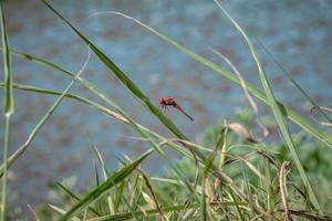 libellule rouge reposant sur une feuille photo