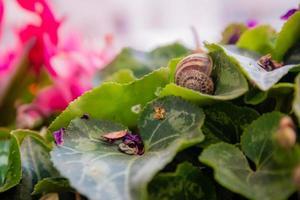 coquille d'escargot vide sur une feuille de cyclamen au jardin photo