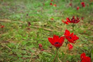 champ d'anémones rouges photo