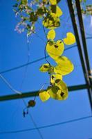 feuillage vert d'aristolochia macrophylla ou pipevin photo