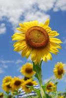 gros tournesol dans le jardin et ciel bleu, photo