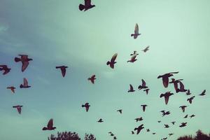 silhouettes de pigeons volants dans le ciel photo
