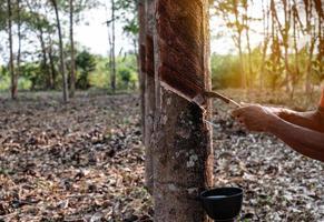 Portrait jardinier homme tapant le latex d'un arbre à caoutchouc forme la Thaïlande photo