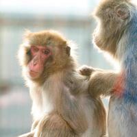 macaques japonais et leur vie dans un zoo, primates en cage. photo