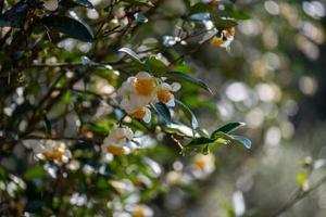 les arbres à thé du jardin de thé sont en pleine floraison photo