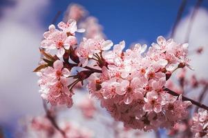 fleurs de prunier se bouchent avec des pétales roses et sur une branche photo