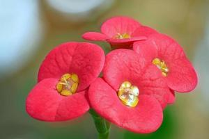 couronne d'épines fleur succulente fermer photo