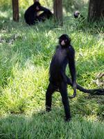 singe araignée noir à face noire photo