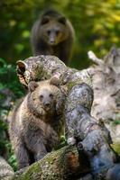 bébé ours brun sauvage dans la forêt d'automne. animal dans son habitat naturel photo