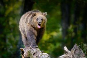 bébé ours brun sauvage sur arbre dans la forêt d'automne. animal dans son habitat naturel photo
