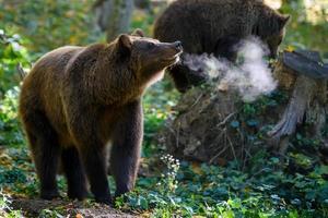 ours brun sauvage dans la forêt d'automne. animal dans son habitat naturel photo