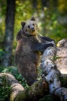 bébé ours brun sauvage debout sur un arbre dans la forêt d'automne. animal dans son habitat naturel photo