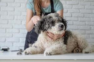 femme souriante, toilettage, chien bichon frisé, dans, salon photo