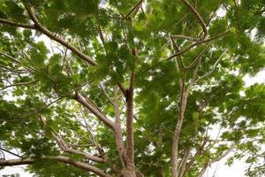 feuillage d'arbre flamboyant photo
