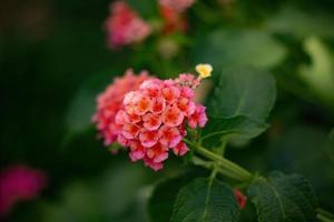 fleur de lantana commun photo