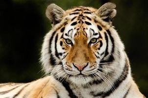 regard de tigre photo